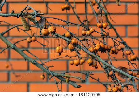 Last year hawthorn fruits hanging on branch on the background of wall of red brick.