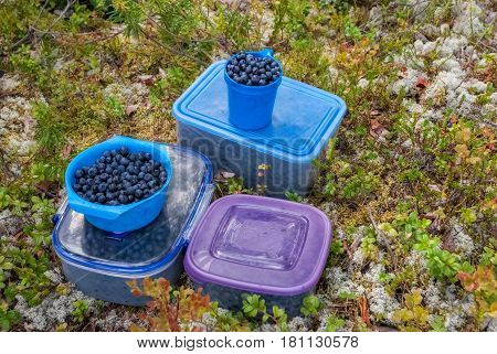 Blueberries collected in containers and the blue bowl on the surface covered with moss and dry pine needles.