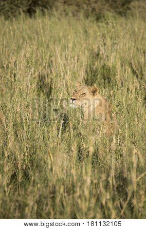 Lioness In Tall Grasses, Serengeti, Tanzania