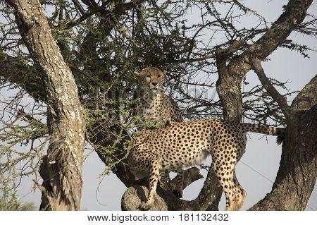 Cheetahs In Acacia Tree Serengeti, Tanzania