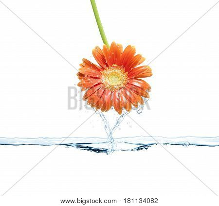 Daisy flower out of water surface. Spring freshness concept.