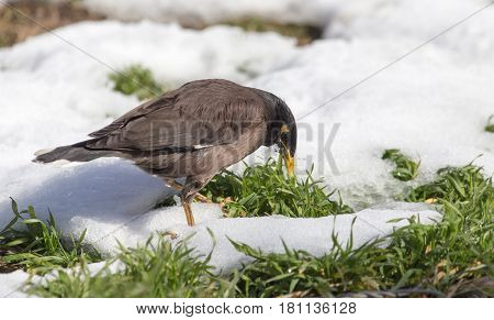 A starling on the ground in winter