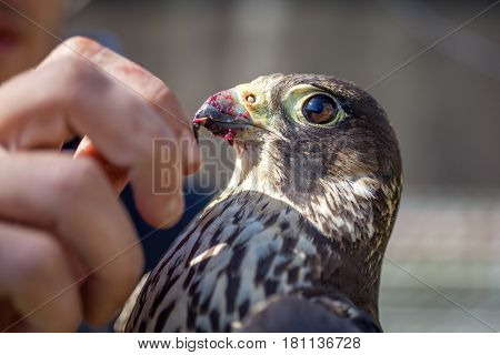A Man Feeds A Falcon With A Dove Meat