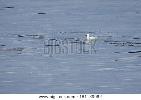 Male Smew Swimming In Icy Water Of A Frozen Lake In Winter