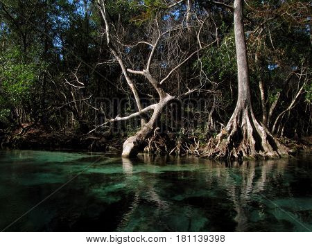 Beautiful gnarled cypress roots in winter time are reflected in the clear, calm peaceful, mirror-like waters of the Weeki Watchie River in western central Florida