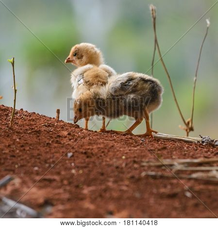 Two cute little chicks wandering in nature.
