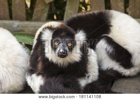 White and black lemur staring at the camera horizontal image