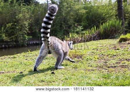 Lemur Seen From The Back With High Tail