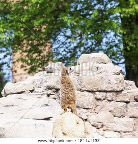 Lemur Standing Over Rock