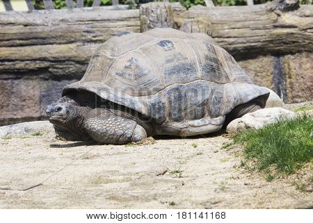 Great Tortoise Moving Over Sand