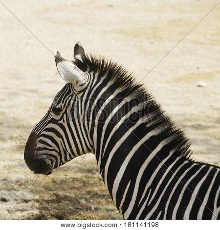 Zebra's Head In Close Up