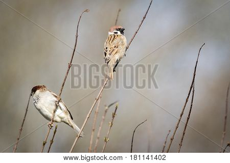 Sparrow Birds Also Known As Passer Montanus