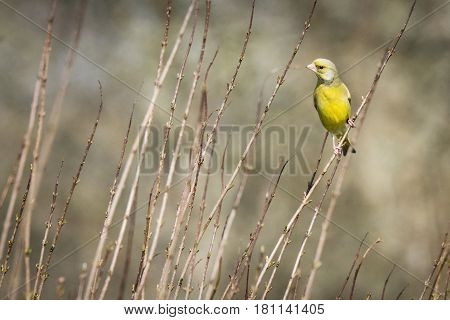 Greenfinch In Beautiful Light Green Colors