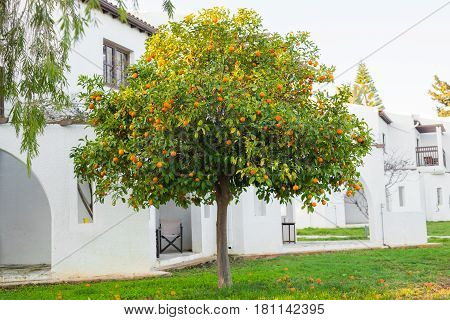 orange trees plantations. The fruit of the orange tree. branch orange tree fruits green leaves