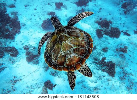 a large loggerhead turtle swims in clear blue water of the sea