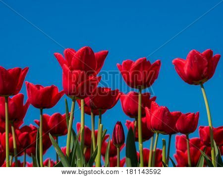 Blooming red tulips against a blue sky