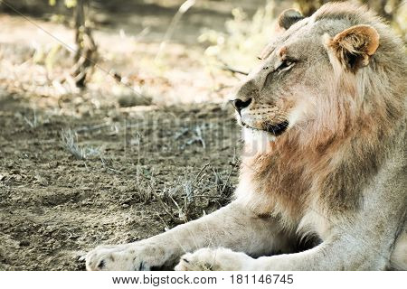 Picture of a male lion in Madikwe game reserve,South Africa.