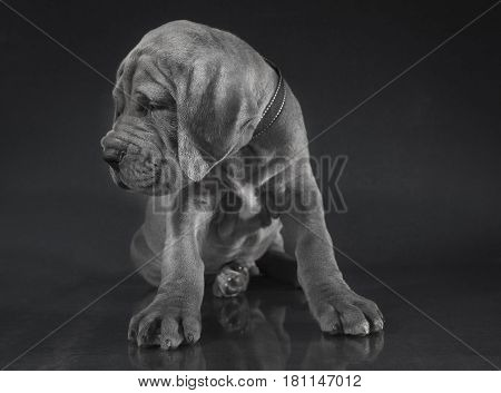 Curious blue Great Dane purebred puppy on a dark background