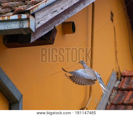 Euroasian Collared Dove carries twigs for its nest.