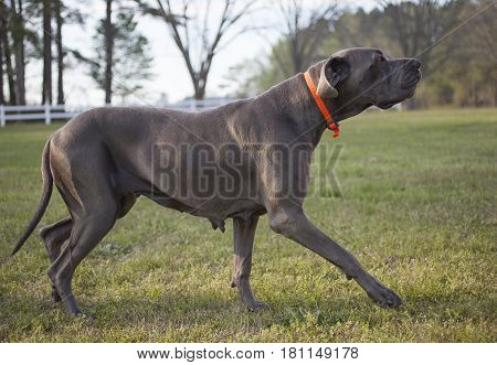 Purebred Great Dane on a grassy field sneaking up on something