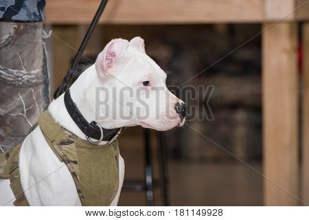 White Dogo Argentino dog wearing a green harness poster