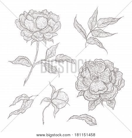 Vector illustration of graphically hand-drawn flowers. Imitation engraving. Blooming peony with an open and a closed bud, leaves and twigs
