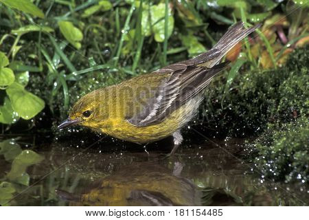 A male Pine Warbler, Setophaga pinus drinking from a pond in the forest