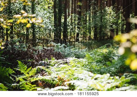 Selected focus on bright green fern in sunny day light in summer forest with rich green vegetation. Scenic wilderness woods of fresh trees with warm sun through the foliage, outdoor nature landscape