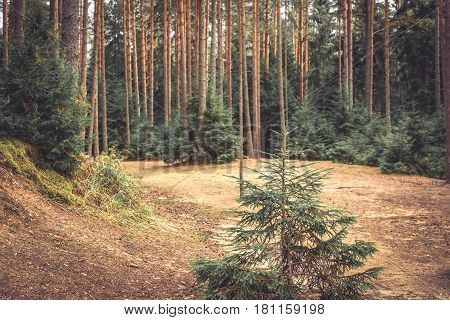 Fabulous wood edge with fir tree and ground covered with fir needles in vintage colors