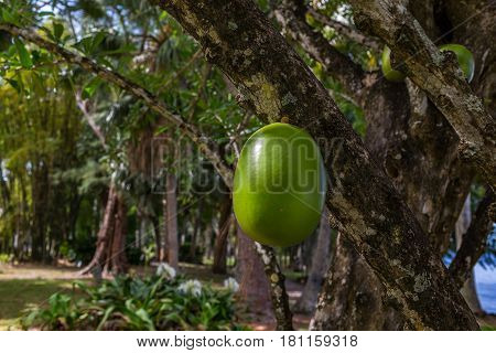 A Calabash Tree and its fruit growing in south Florida.