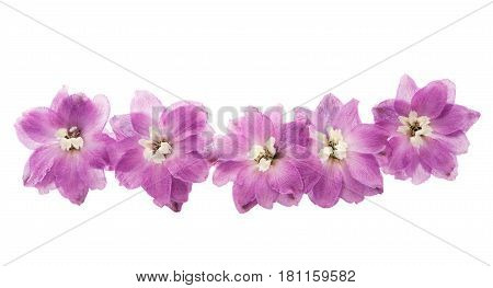 violet delphinium summer flowers isolated on white