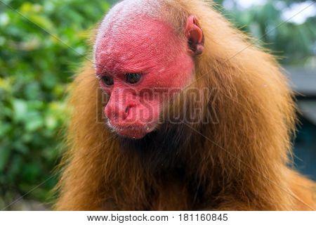 Red face of a bald uakari monkey near Iquitos Peru