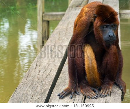 Red howler monkey sitting on a plank near Iquitos Peru