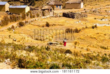 ISLA DEL SOL BOLIVIA - AUGUST 18: Indigenous woman with a herd of sheep on the Isla del Sol Bolivia on August 18 2014