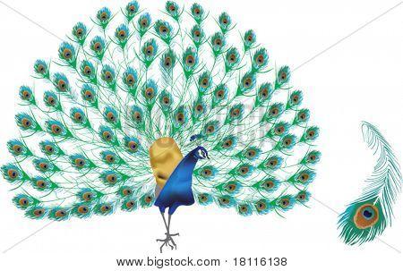 Ilustración con pavo real y la pluma aislado sobre fondo blanco