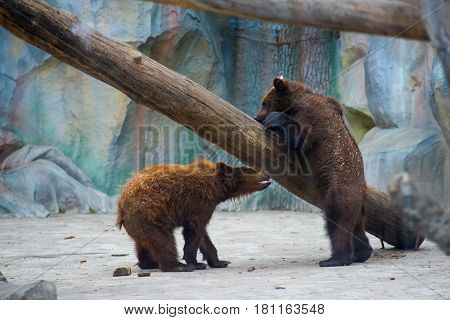 Little bears are played at the zoo