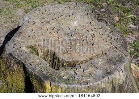 A tree stump with coins embedded into it in the Lake District in Cumbria UK. The coins are knocked into fallen tree trunk by passers-by in the hope that it will bring them good fortune.
