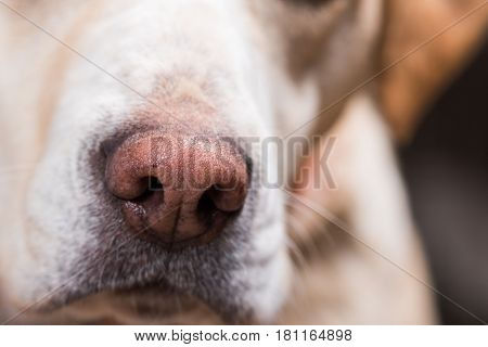 Close up of a yellow dog's nose.
