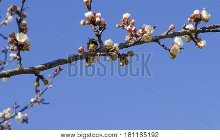 Bumblebee on a blossoming apricot branch against a blue sky background