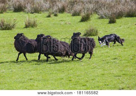 A sheep dog herding a flock of sheep on farmland.