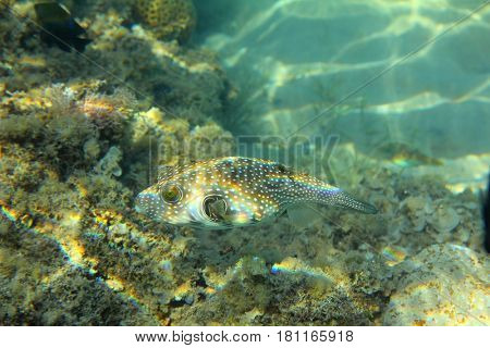 underwater in Red sea - Whitespotted puffer fish