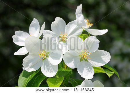 macro view on blossom apple tree branch