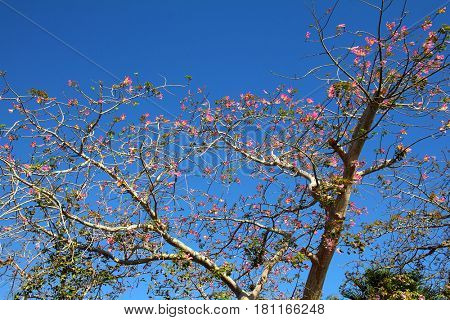 blossom branches of bottle tree in africa - adenium obesum socotra
