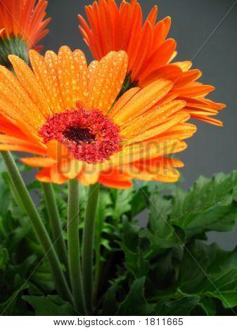 Orange Gerber Flower
