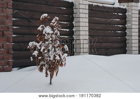 Rowan in the snow near the fence. Tree covered with snow.