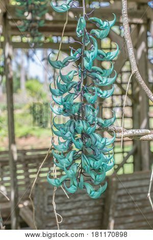 Blue Flower: isolated view of a Blue Jade Vine Flower, at the Na Aina Kai Botanical Gardens, on Kauai, Hawaii, on March 22, 2017, mid-morning