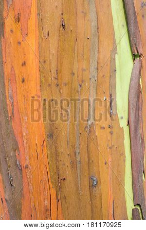 Rainbow Bark: isolated close up of rainbow eucalyptus tree bark