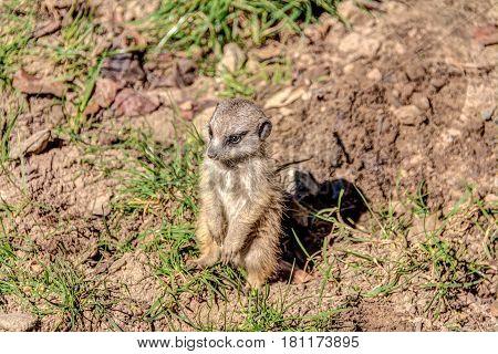 Little Meerkat Is Watching Around