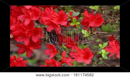 Azaleas, Red, Green Leaves, Early Spring Time.