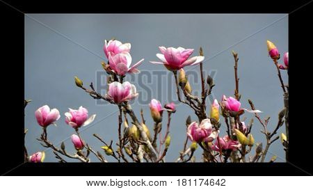 Tulip Tree with pinkish purple flowers, Water in background.